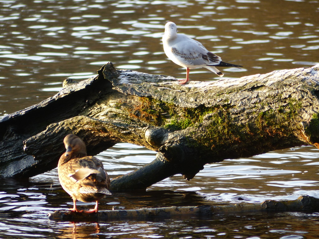 wild duck and seagul